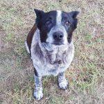 06b-聾盲的老忠犬麥斯,守護在野外迷路的少主度過一夜。(澳洲廣播公司)